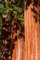 Sequoia Trees ll