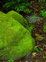Moss-covered Boulder and Fern