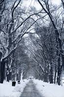 Snow Trees, Washington D.C.