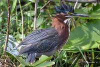 Mohawk, or in this case, Moheron