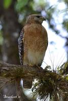 Regal Red-shouldered Hawk