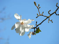 Blue Sky art prints White Magnolia Flowers