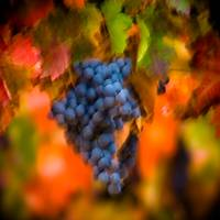 Tempranillo Abstract