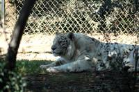 White Tiger in the Shade