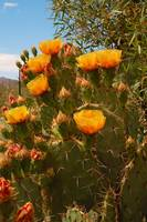 Beavertail Cacti Blooms in May