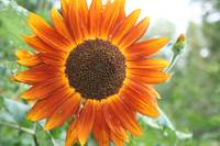 Autumn Harvest sunflower