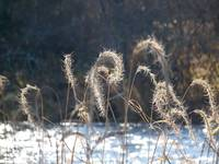 Sea oats and snow