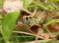 Peeking Grassshopper