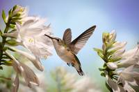 Hummingbird and White Flowers