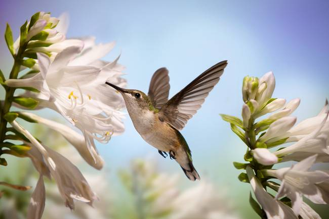 Hummingbird and white flowers by stephen brown mightylinksfo