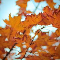Fall Maple
