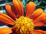 Flower with Orange Peddles