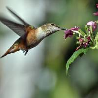 Hummingbird at Pink Flowers II by Laura Mountainspring