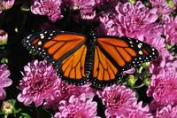 Monarch Butterfly & Purple Mums No1