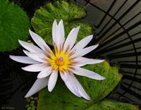 White Waterlily on Green