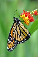Monarch & Milkweed No3