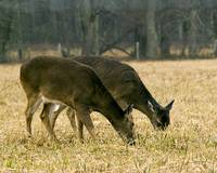 deer browsing the fields of Cades Cove.