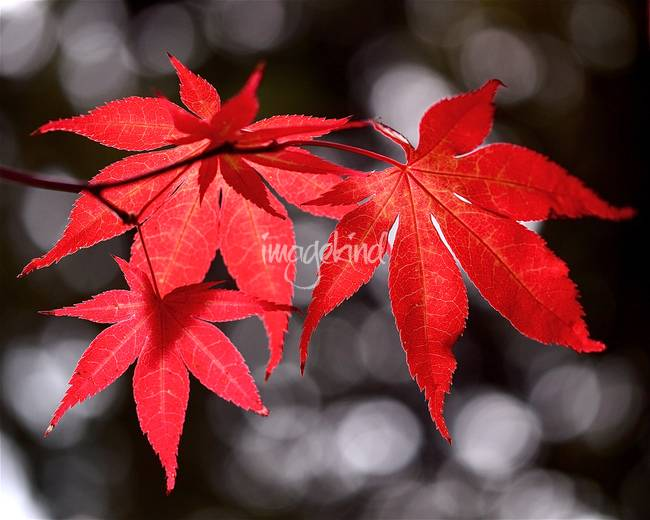 Dancing Japanese Maple