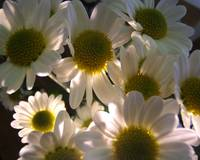 Illuminated Daisy Group