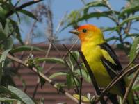 Mr. Tanager