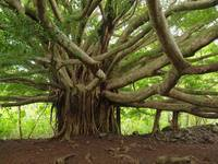 Ancient Banyan Beauty