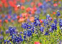 Bluebonnets & Paintbrushes