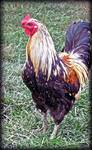 Unfriendly Rooster