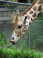 Giraffe ~ Afternoon Munchies