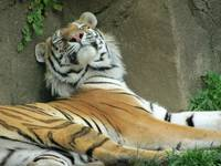 Tiger ~ How Sweet It Is