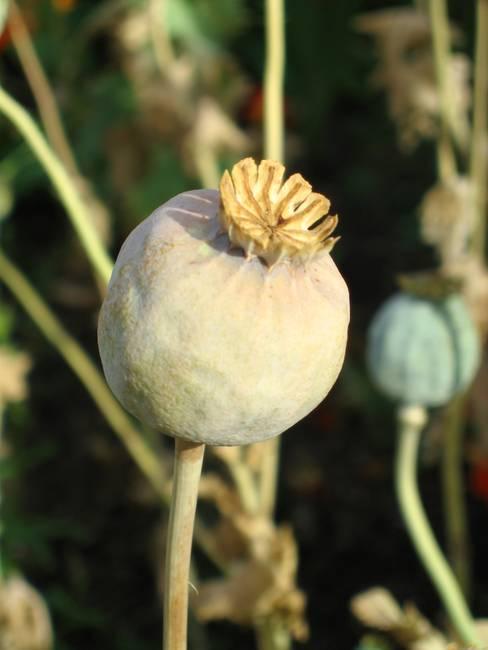 Poppy seed pod by heidi selzler mightylinksfo