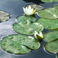 Zen Waterlilly