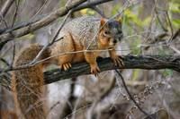 Fox Squirrel by Daniel Teetor