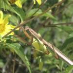 Praying Mantis on Sunflower Prints & Posters