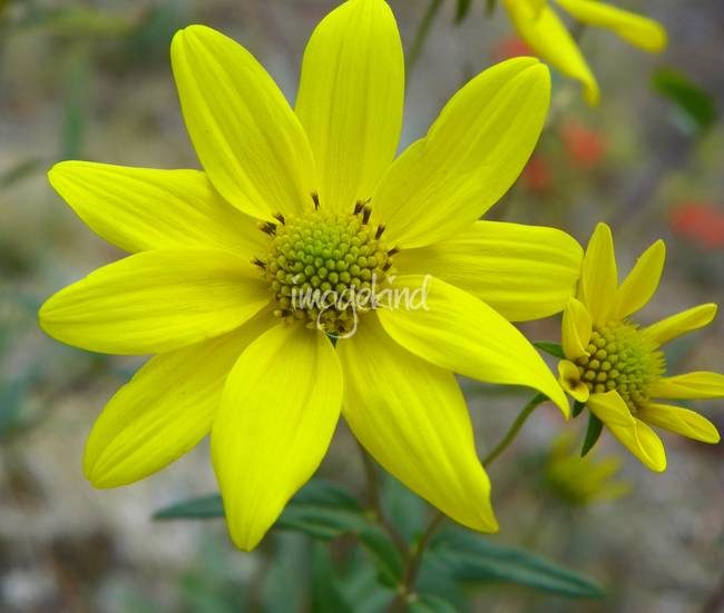 Wildflower - Arrowleaf Groundsel - Outdoors Floral