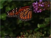 Gorgeous Monarch