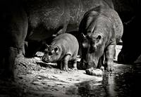 Baby Hippo with Mama