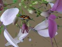 A Lover of Cleome
