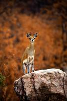 I See You  : Klipspringer