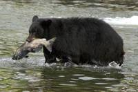 Alaskan Black Bear