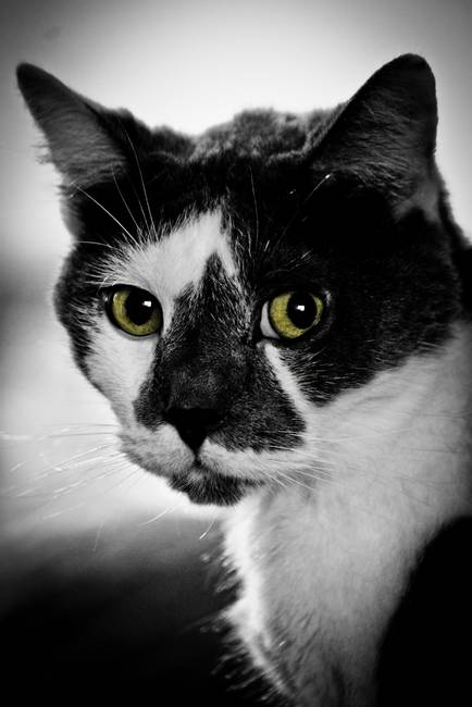 Stunning Quot Black And White Cat Quot Artwork For Sale On Fine