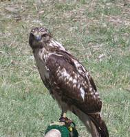 Bird of Prey: The Harris Hawk