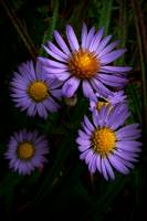 Wild Fall Asters