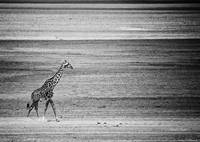 Lone African Giraffe on dry Lake Manyara Dry Bed