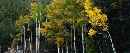 Autumn in the Aspens