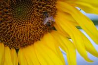 Honey Bee visiting Sunflower