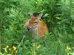 Deer Lying in Tall Grasses