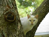 Beige Cat watching from tree crotch perch