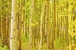 "Fall Foliage Aspen Landscape by James ""BO"" Insogna"