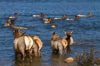 Swimming Elk  ll