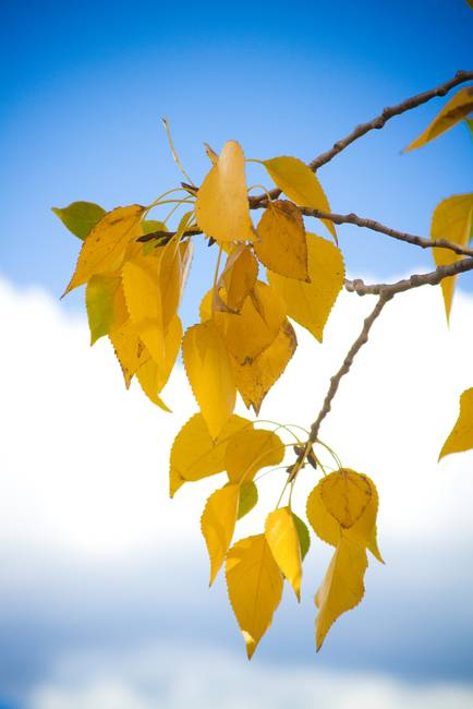 Autumn Aspen Leaves and Blue Sky